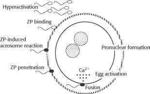 human sperm capacitate