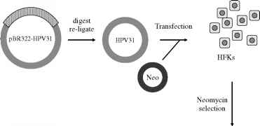 Hpv Pictures Life Cycle