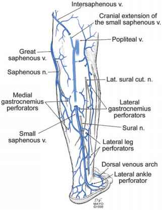Anatomy Of The Lower Extremity Veins Varicose Veins