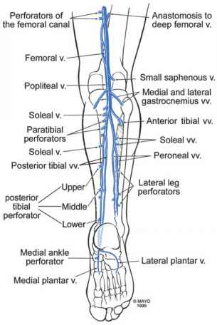 Anatomy of the lower extremity veins varicose veins veins the calf publicscrutiny Image collections
