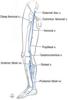 Anatomy Of The Lower Extremity Veins - Varicose Veins