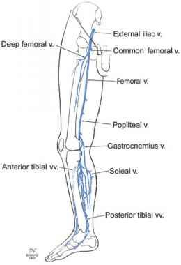 Veins in legs anatomy